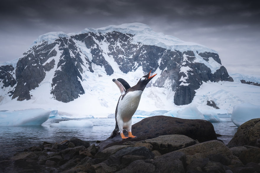 南極洲氣候持續走高 暖冬下的企鵝生存